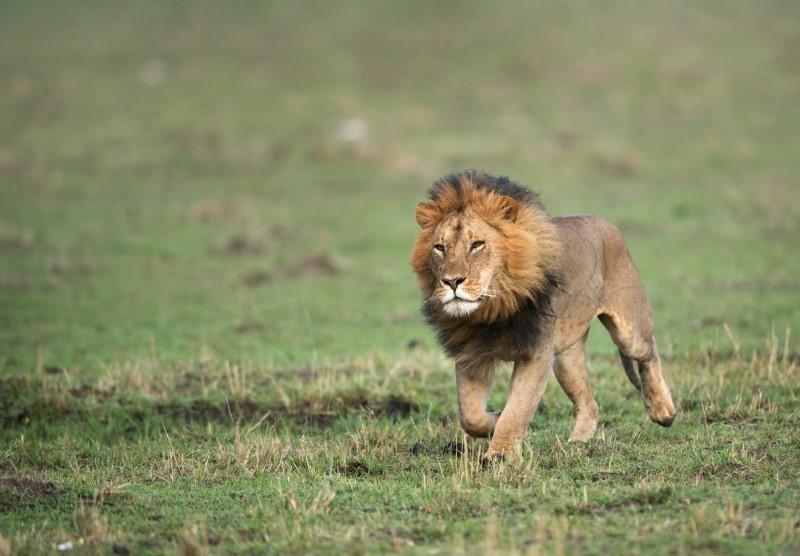 Lion super fast
