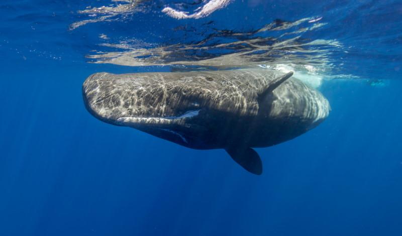 Sperm whale (2)