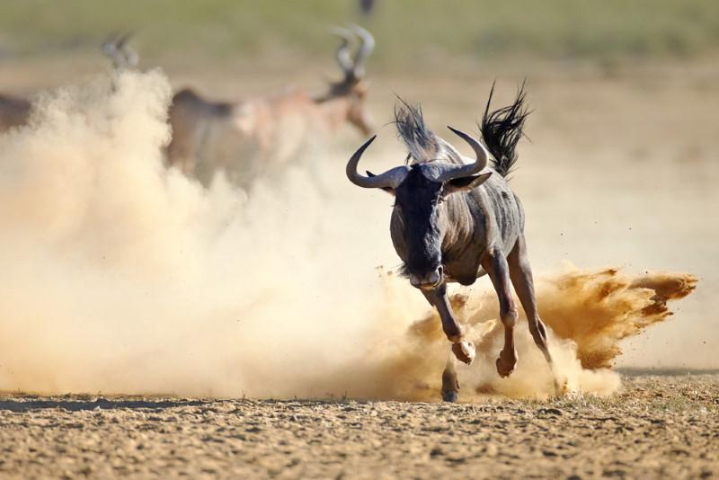 Wildebeest running fast