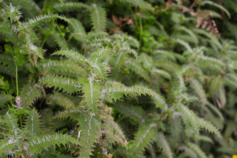 New Zealand Nettle
