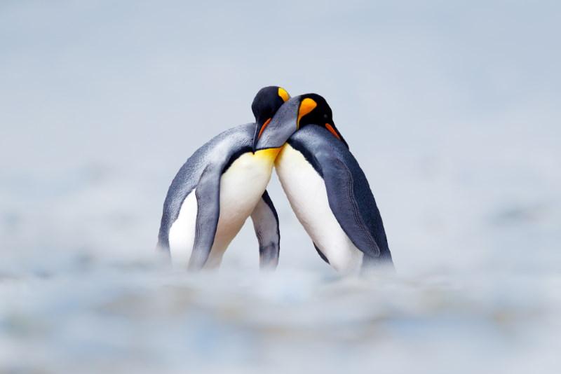 Penguins soulmates