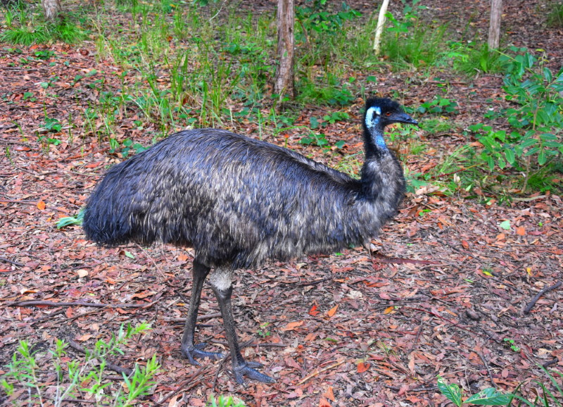 Southern cassowary,