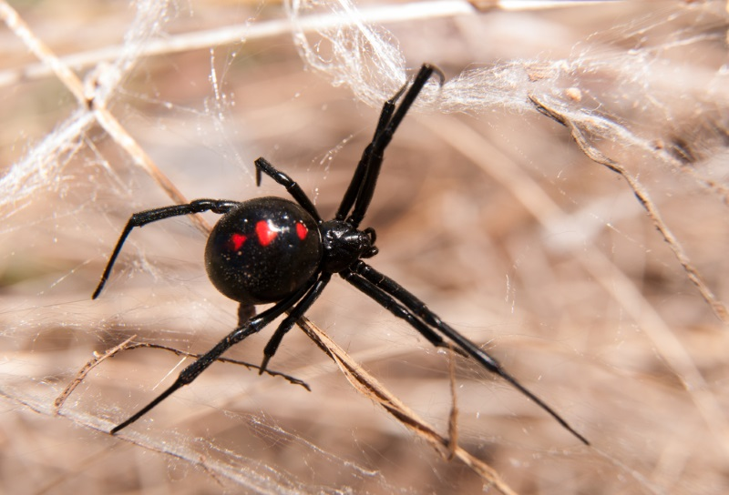 are black widow spiders deadly - 800×544