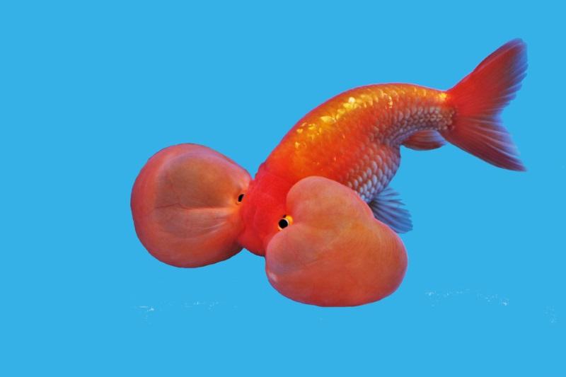Top 10 ugliest animals in the world top10hq for Pesce oranda