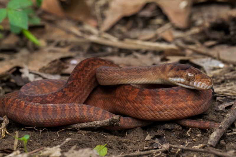 Amethystine scrub python