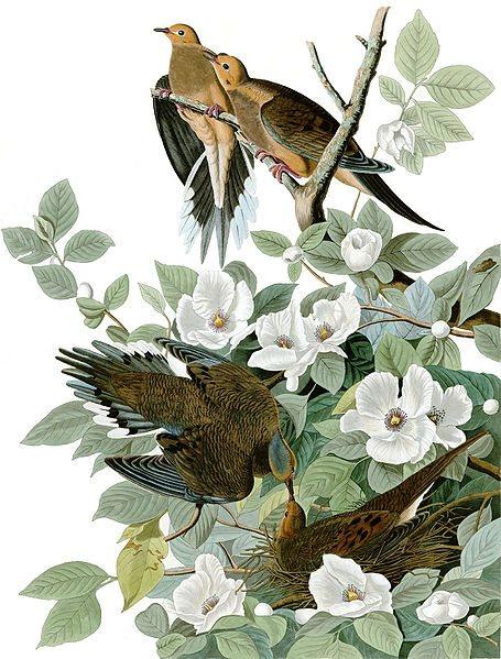 the Birds of America
