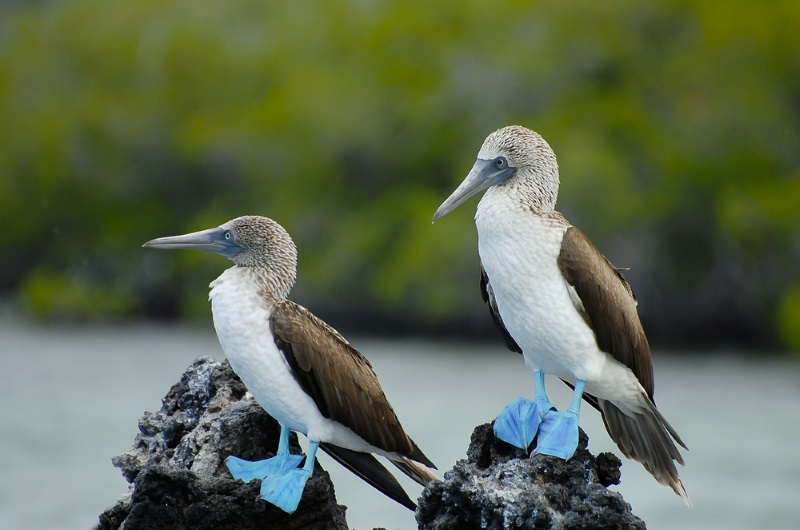 Blue-footed Booby bird with blue feet
