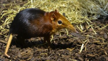 Elephant Shrew funny nose