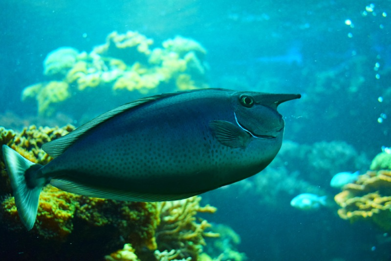 Short-Nosed Unicornfish