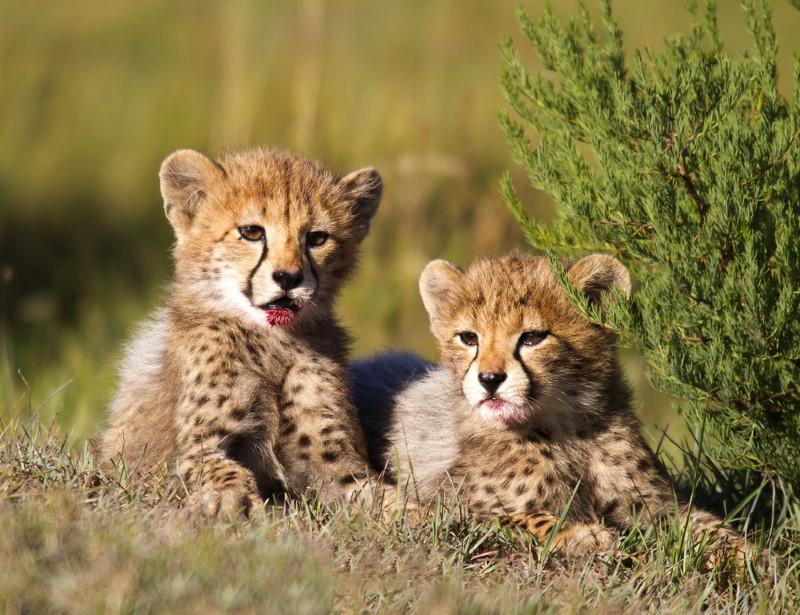 cheeatah cubs