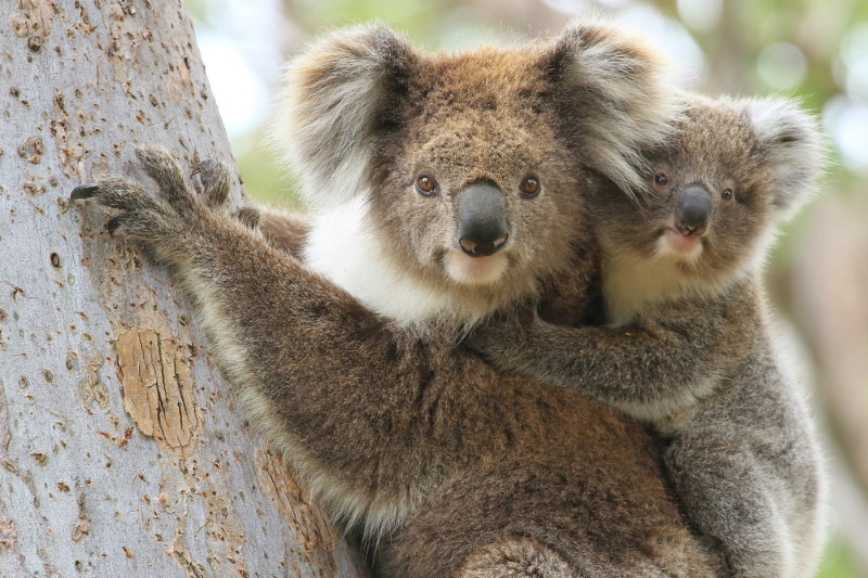 koala bear and young
