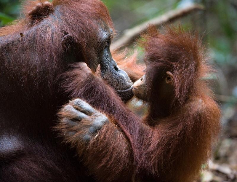 orangutan mom and baby