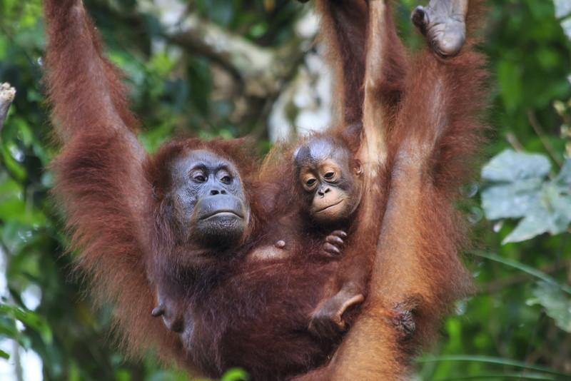 orangutan mom and cub