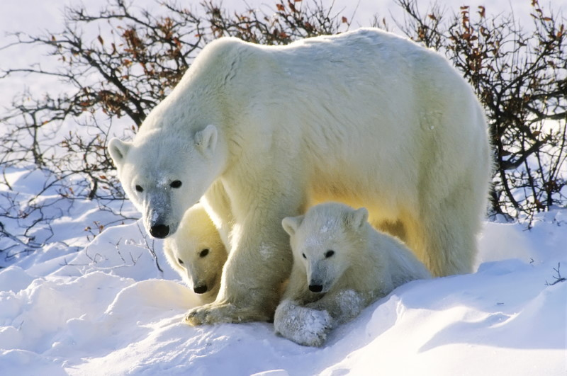 polar bear with young