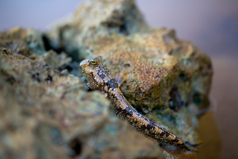 Pacific leaping blenny