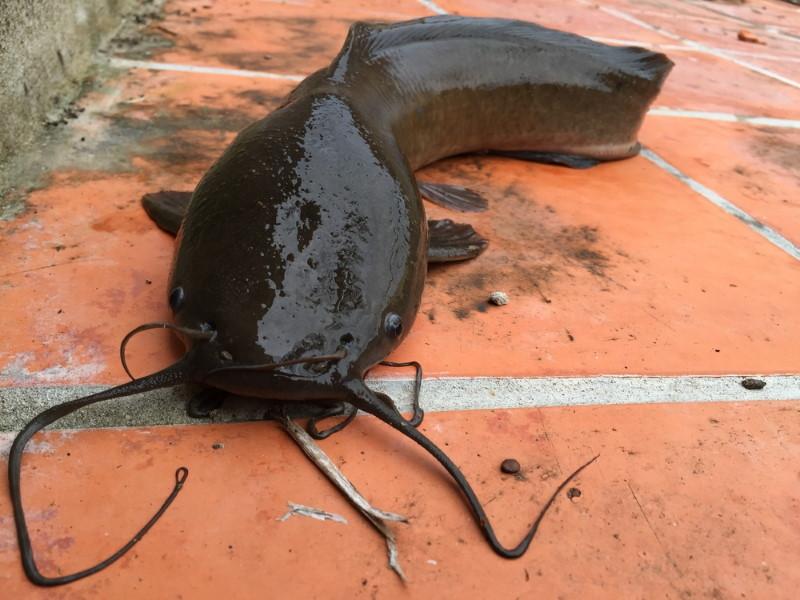 airbreathing cathfish