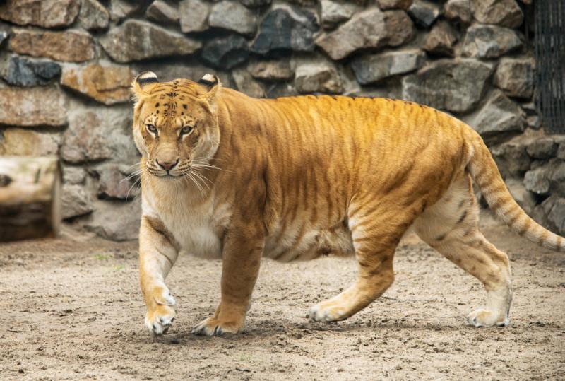 liger mom