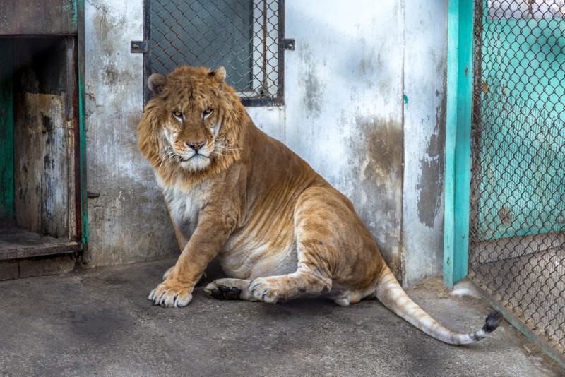 ligers are big