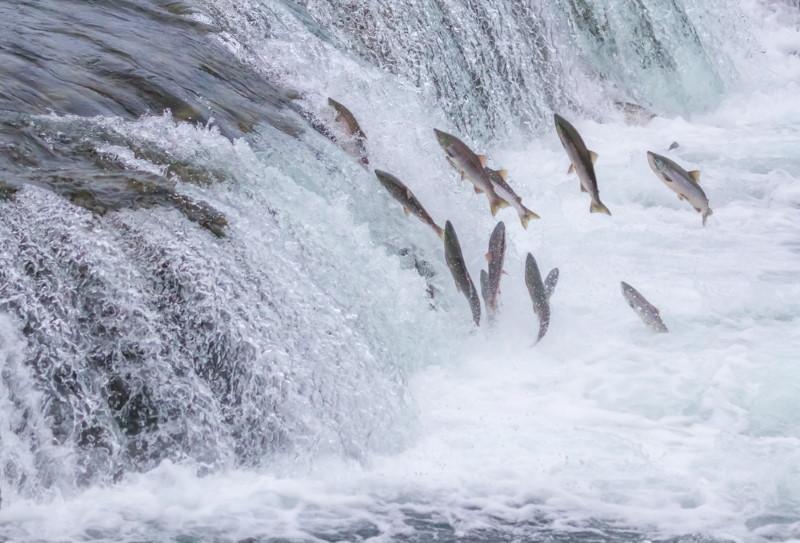 salmon act