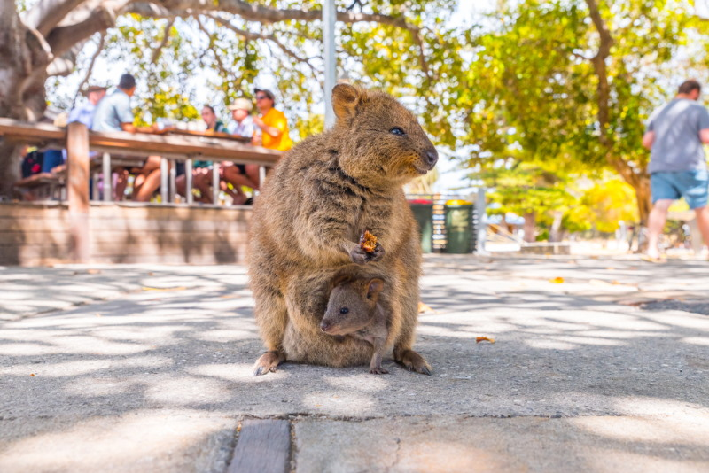quokka bad parents