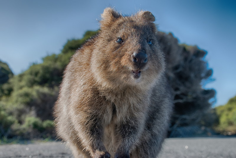 quokka biting