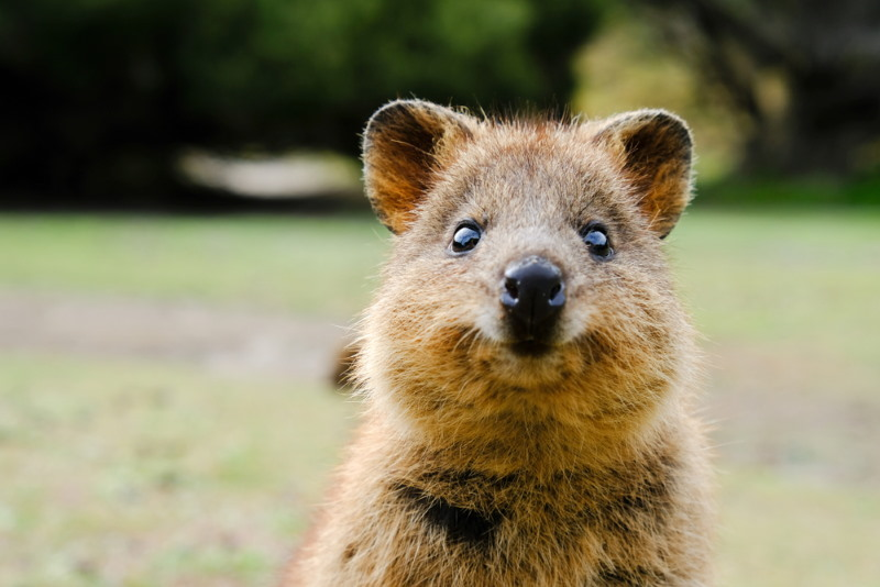 quokka name