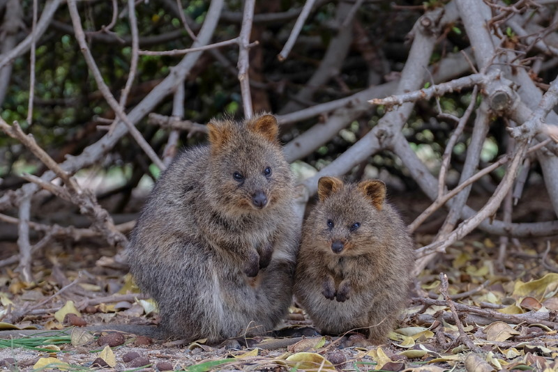 quokka not a lot left