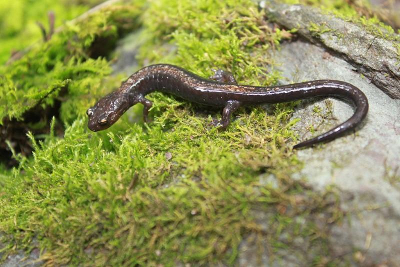 longless salamander