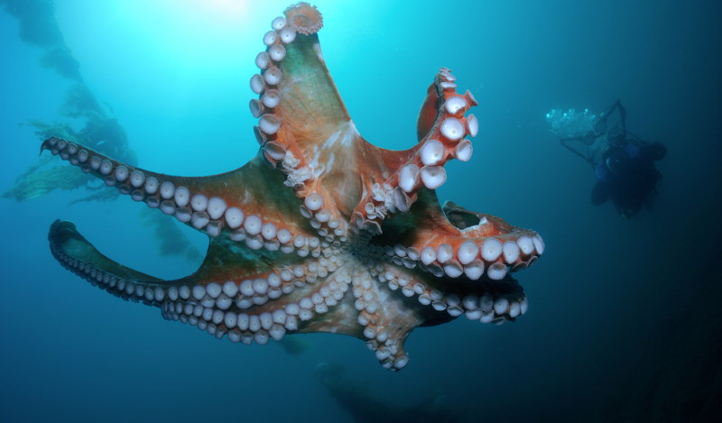 Giant Pacific octopus2