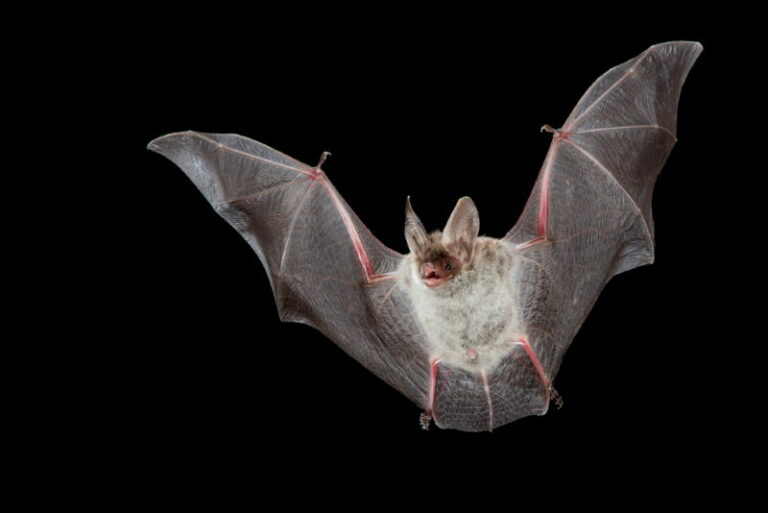 Greater mouse-eared bat