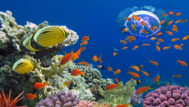 red-sea-koraal