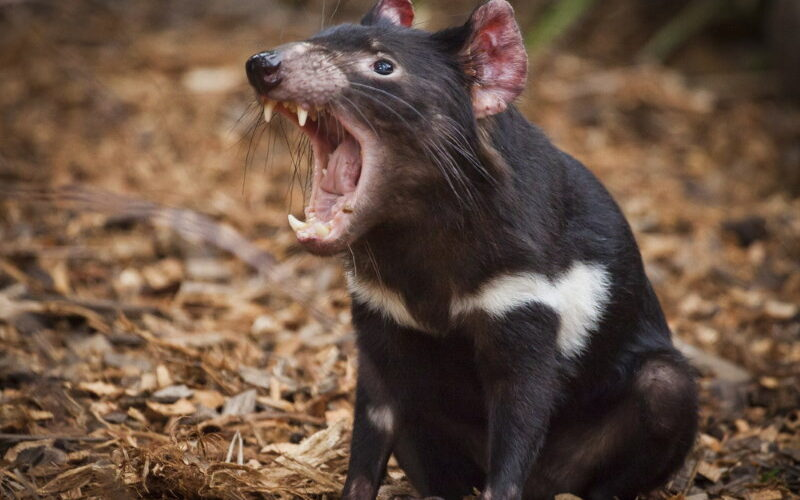sounds tasmanian devil