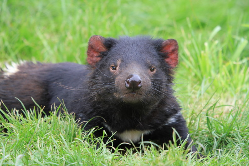 tasmanian devil marsupian