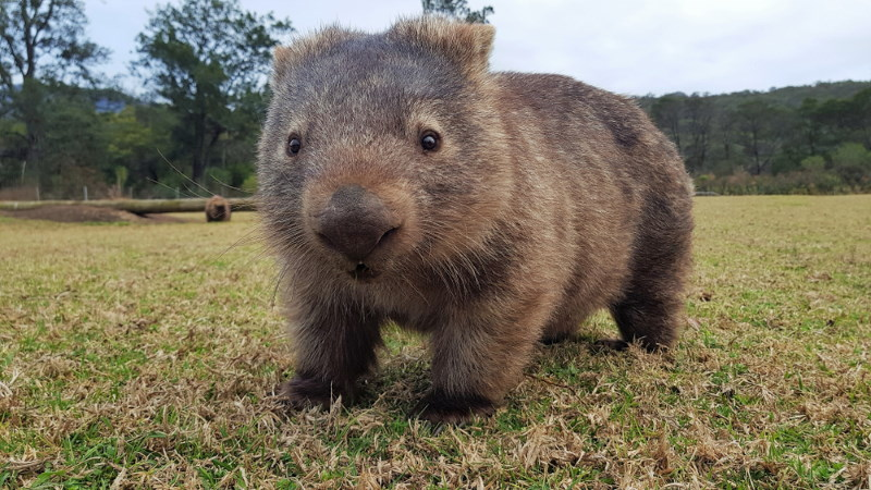 wombat is fast