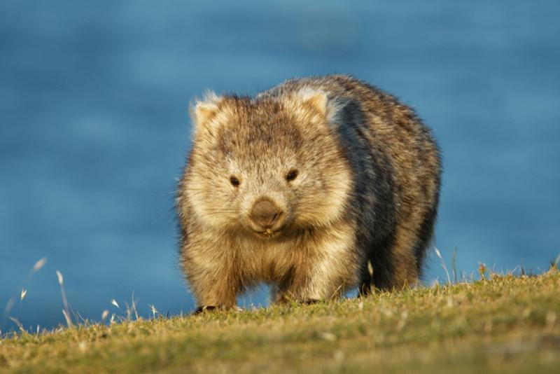 wombat not a stuffed animal