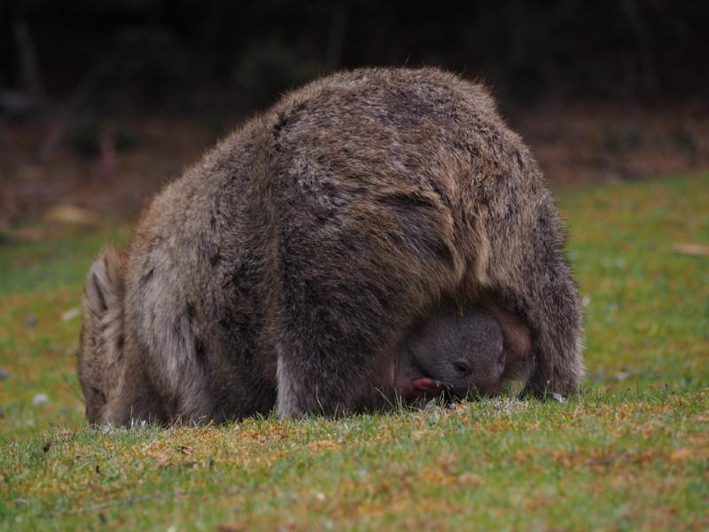 wombat pouch