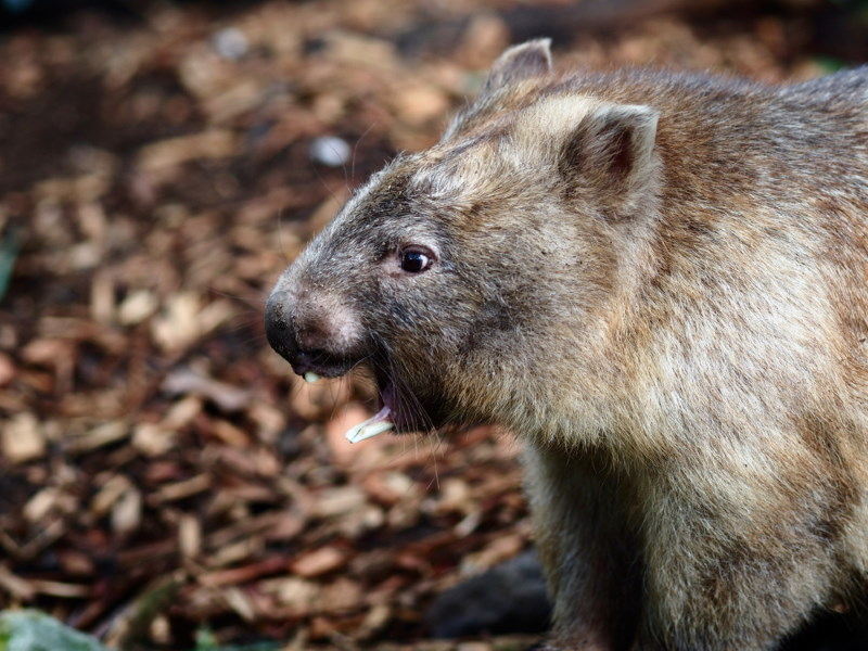 wombat teeth