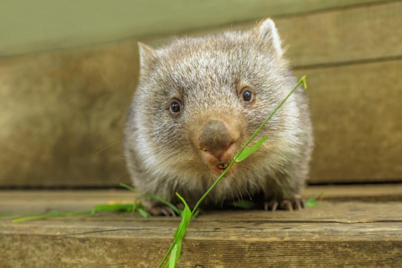 wombat vegetarian